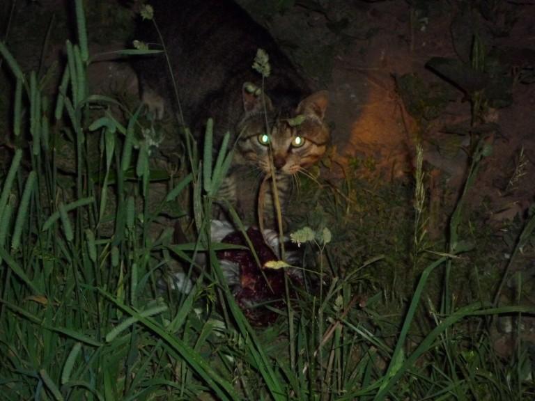 ウトウを襲うネコ2